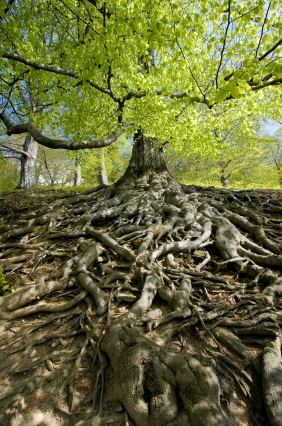 Beech-tree-with-solid-roots